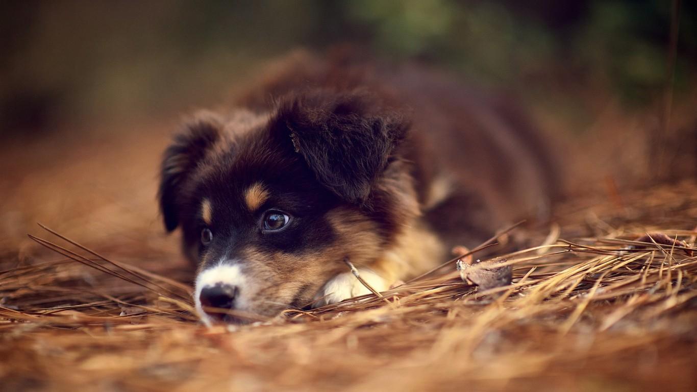German Shepherd Puppies Wallpaper   Wallpaper High Definition High 1366x768
