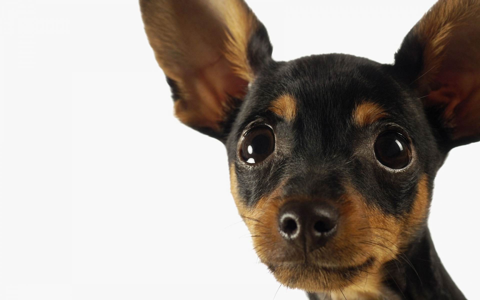 Pics Photos   Miniature Pinscher Dogs Wallpaper 1920x1200