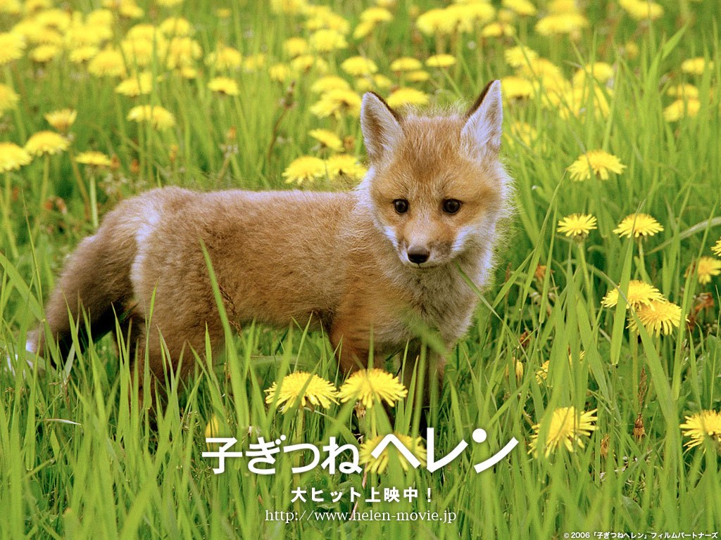 Baby Red Fox Wallpaper Baby 1024x768