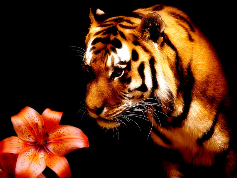 Tiger and lily wallpaper   ForWallpapercom 808x606