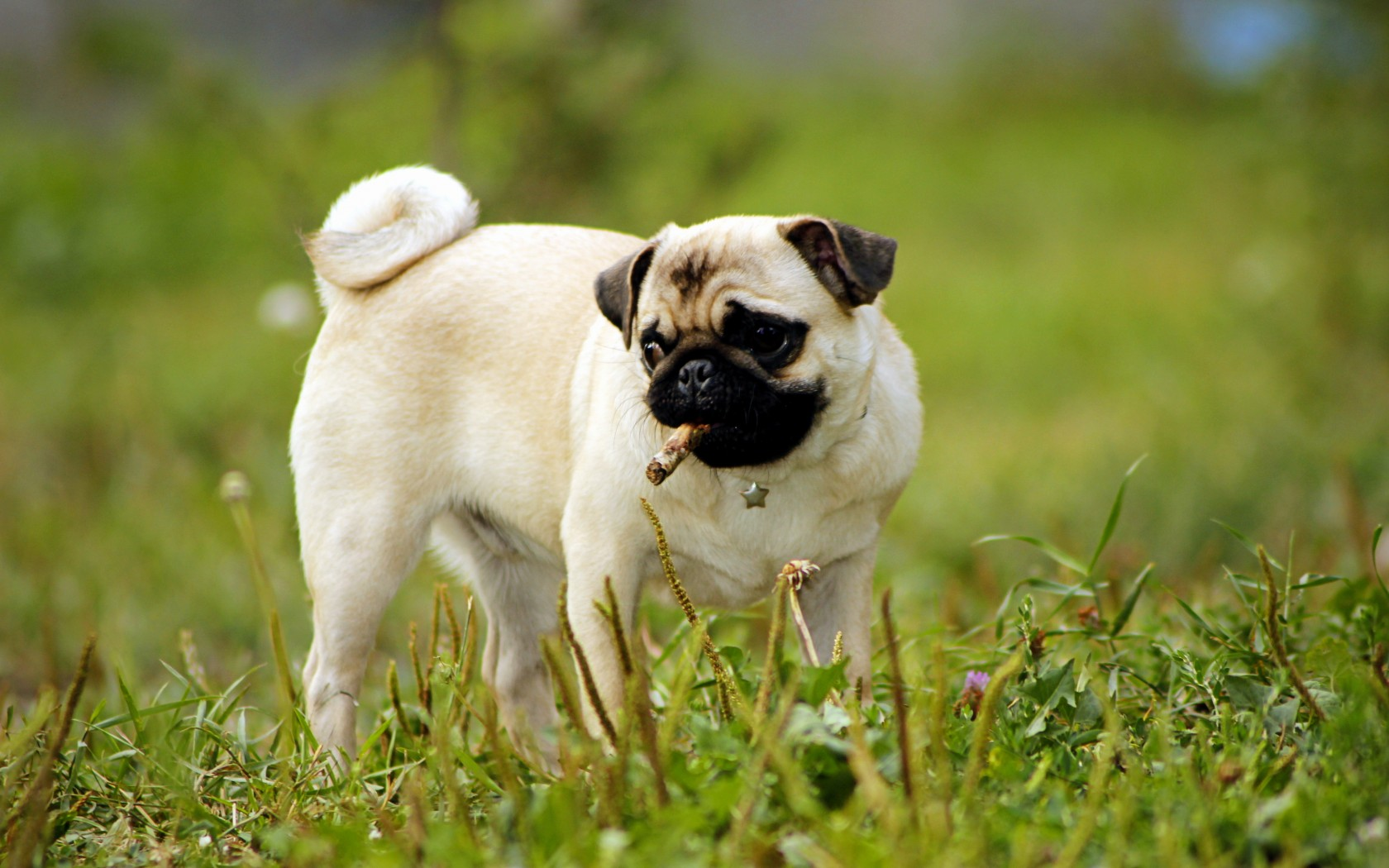 31 pug dog wallpapers new beautiful desktop background images of 1680x1050