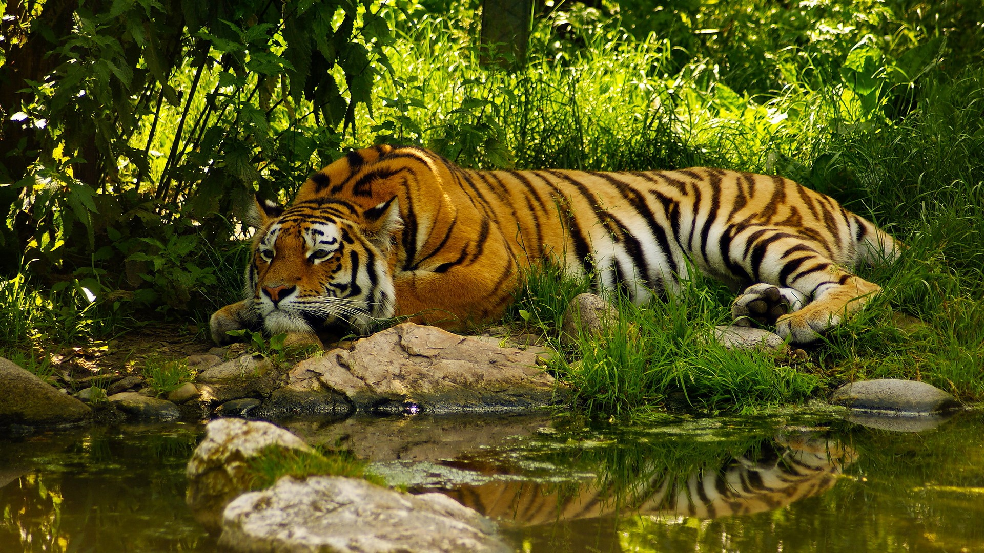 Beautiful Tiger Sleeping in Green Jungle Wallpapers HD Wallpapers 1920x1080