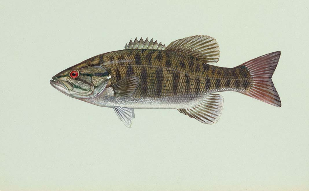 com   Small Mouth Bass Pictures Information Wallpaper Photos 1068x660