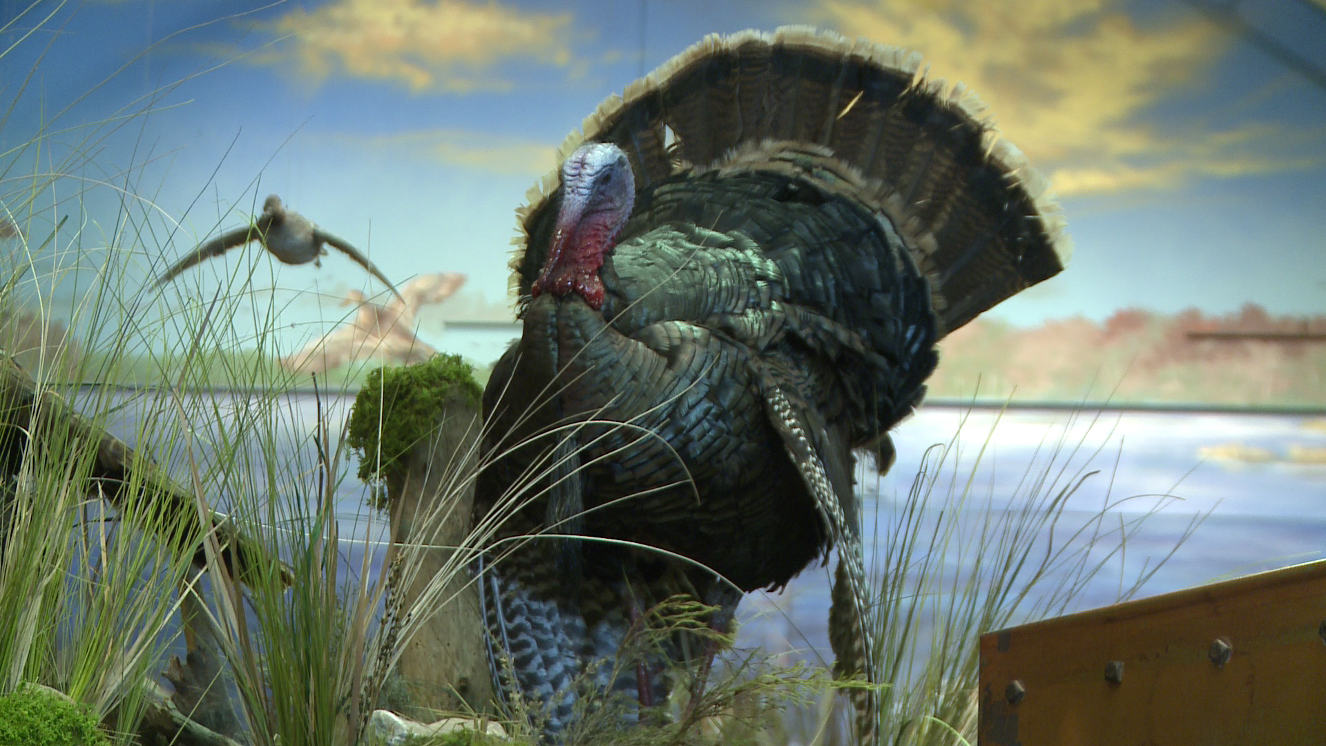 download Mo Wild Turkey Season Starts April 15 KOMUcom 1920x1080