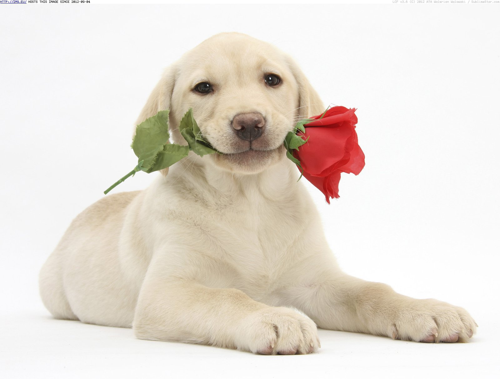 Valentine's Day Puppies Free Wallpaper