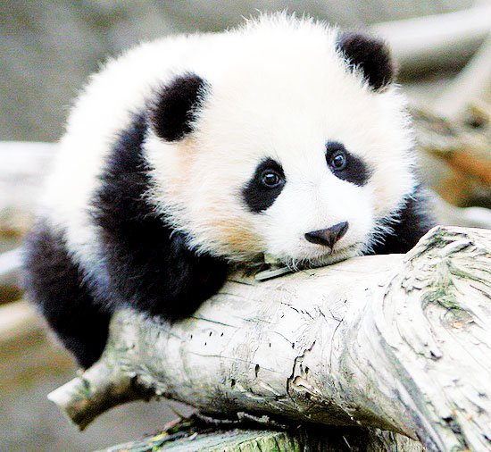 here are some amazingly cute baby panda videos that are sure to put a 550x506