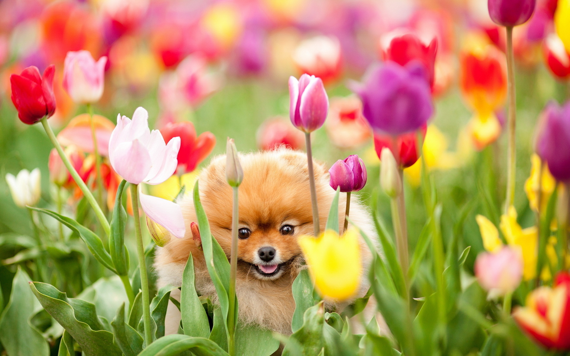 Dog and tulips wallpapers and images   wallpapers pictures photos 1920x1200