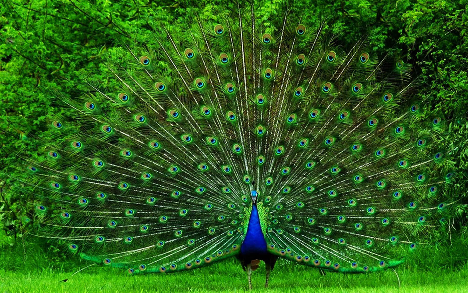 49+] Peacock Wallpaper for the House on WallpaperSafari