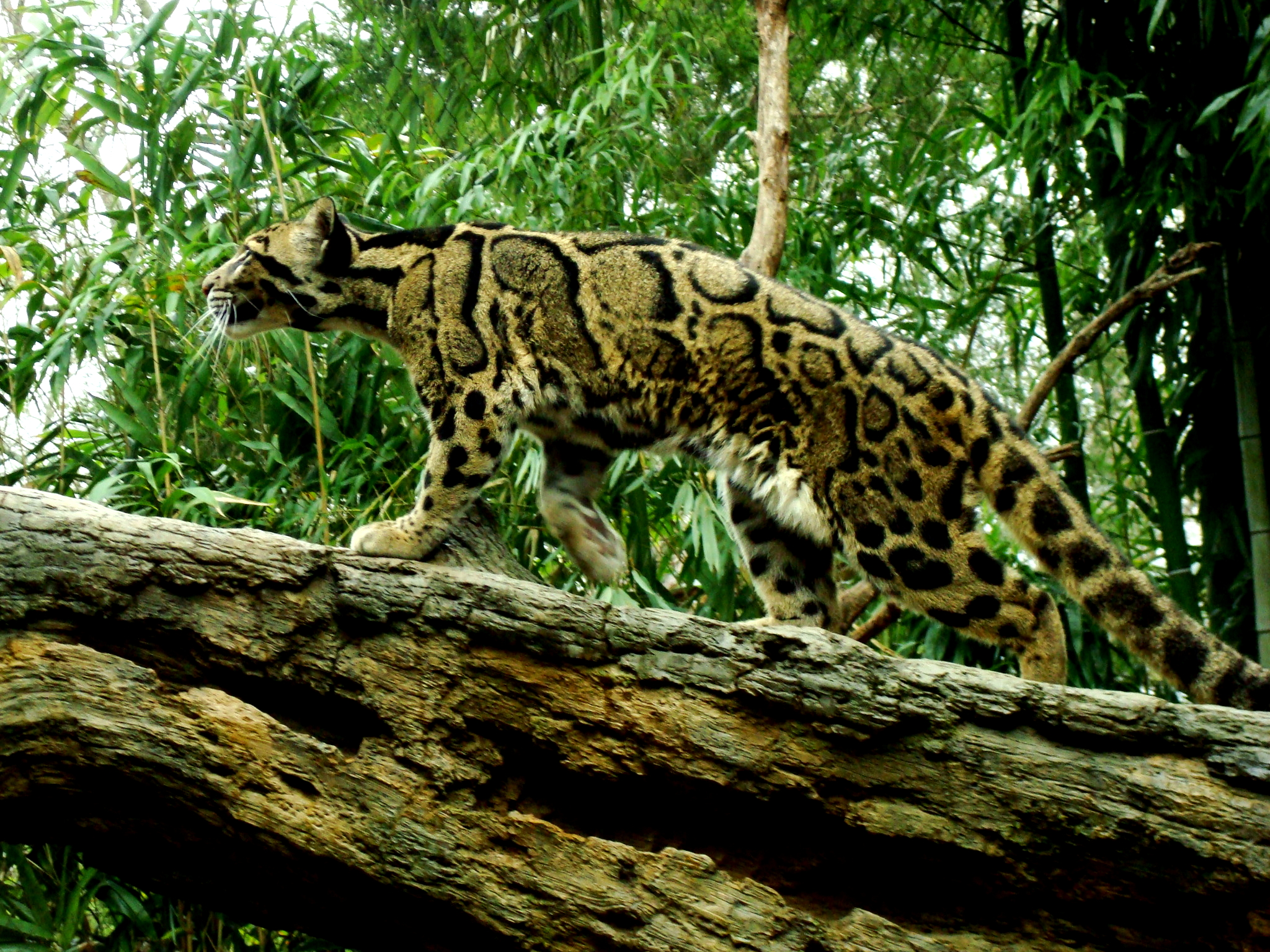 Clouded Leopard Wallpaper Images Pictures   Becuo 2048x1536