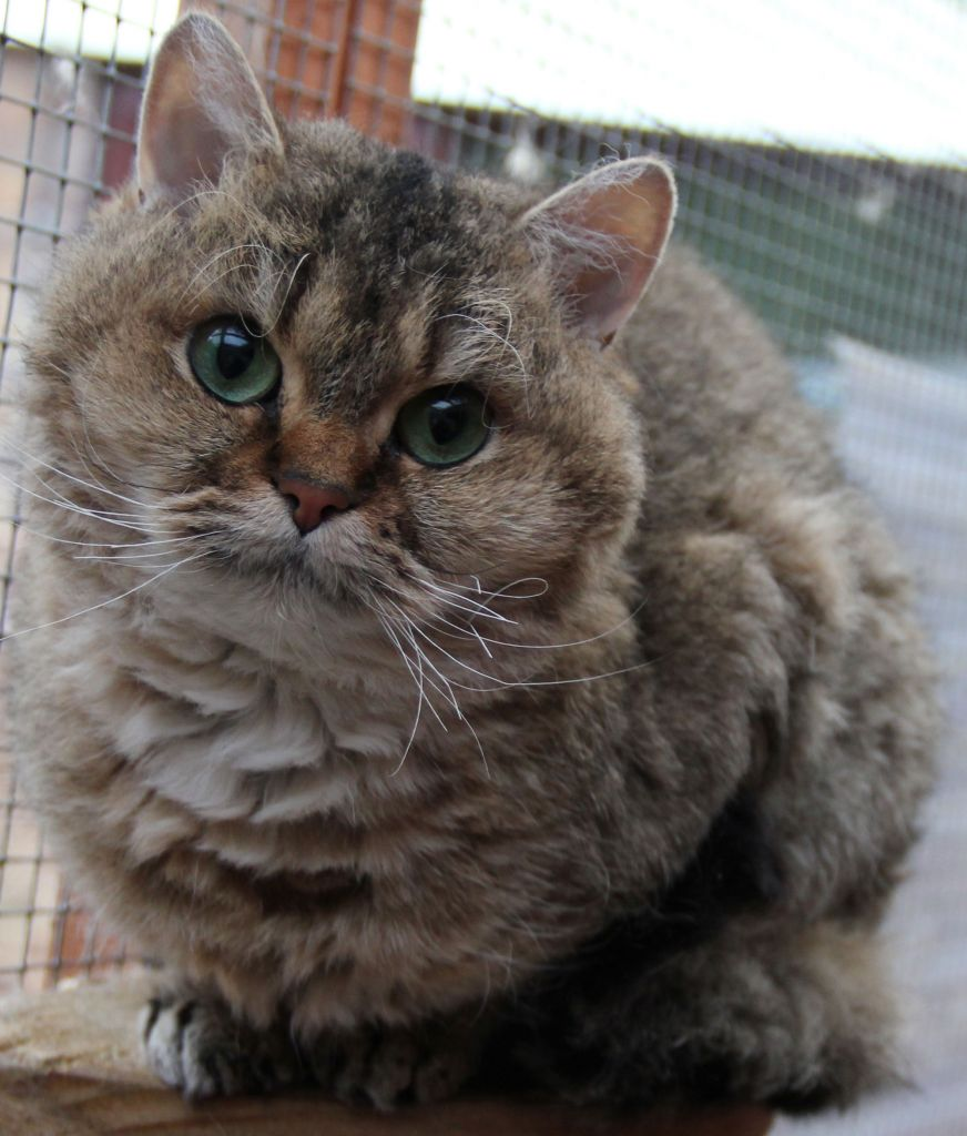 Rex face photo and wallpaper Beautiful Selkirk Rex face pictures 872x1024