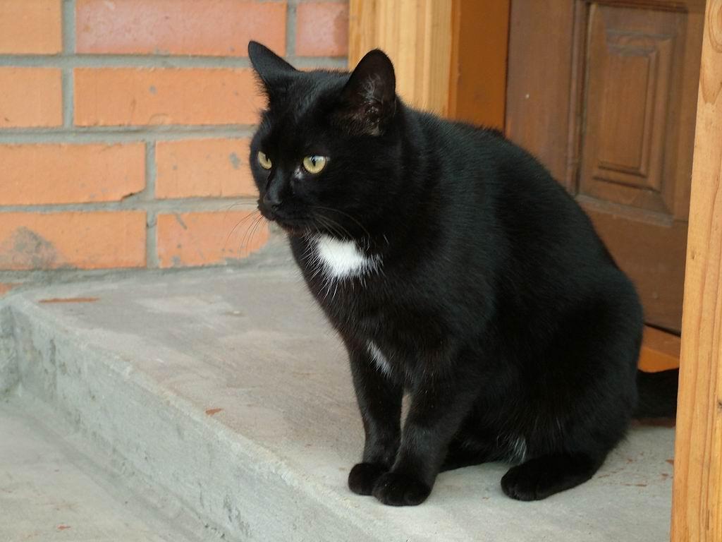 черный кот с белым галстуком фото