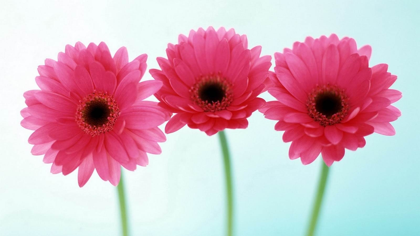 Pink Flowers Wallpaper Amazon Walls HD Wallpapers Backgrounds p 1600x900