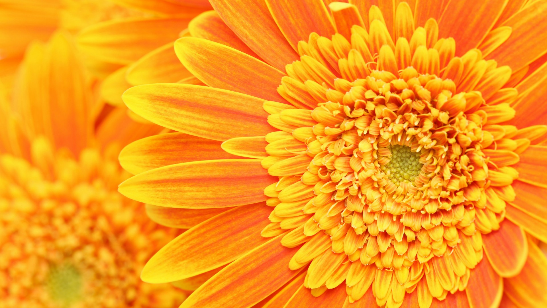 Background Beauty Floral Flower Fresh Nature Orange desktop wallpapers 1920x1080