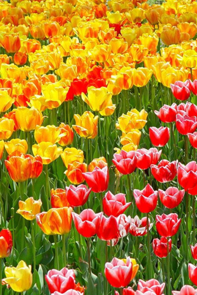 Tulip Garden iPhone HD Wallpaper iPhone HD Wallpaper download iPhone 640x960