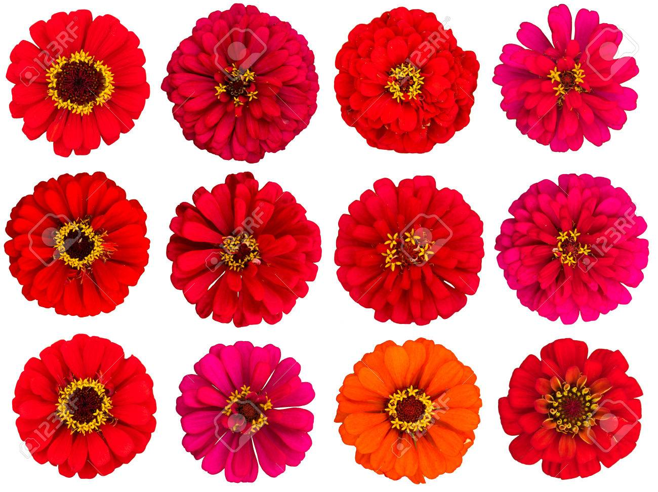 Red Zinnia Flowers Cut Out White Background Stock Photo Picture 1300x972