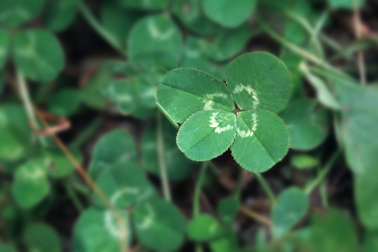 four leaf clover background four leaf clov 1280x854