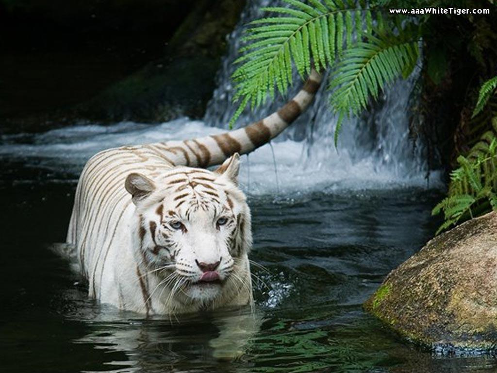 white tiger waterfall wallpaperjpg 1024x768