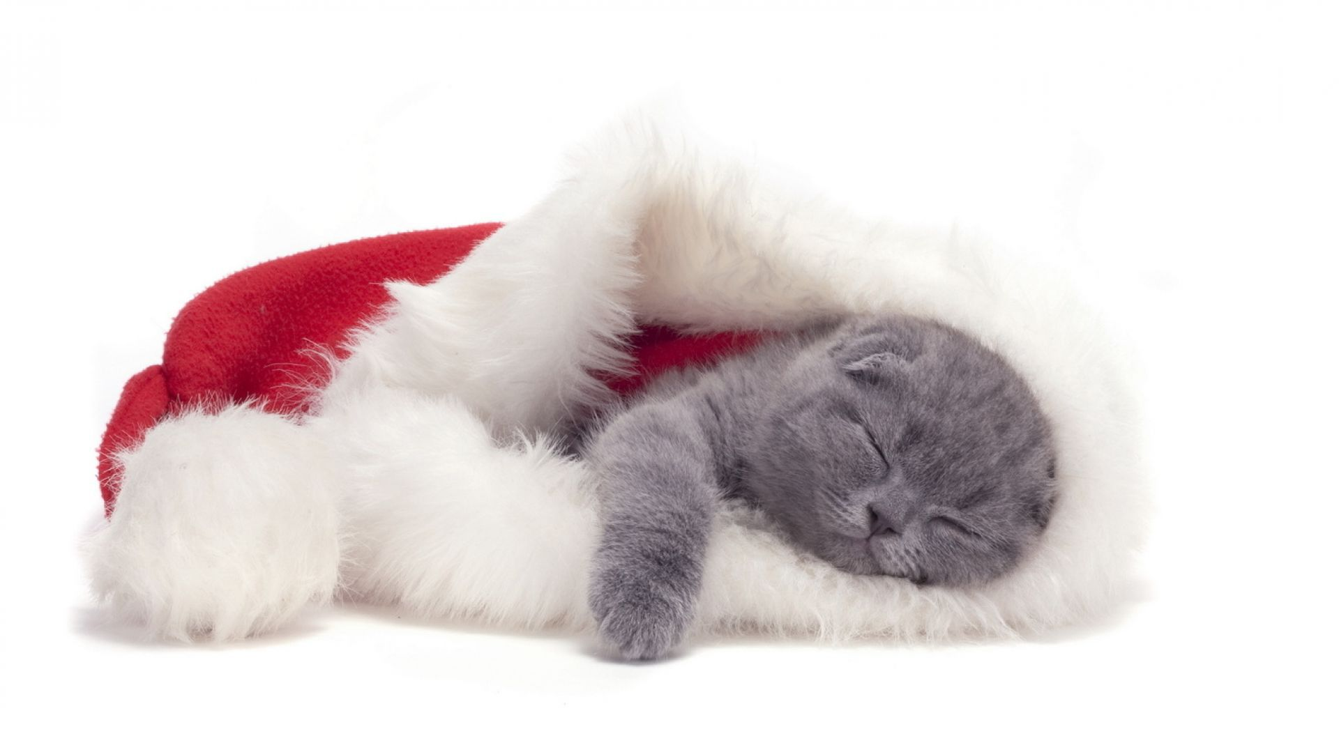 Small Scottish Fold cat is sleeping in a Christmas hat 1920x1079