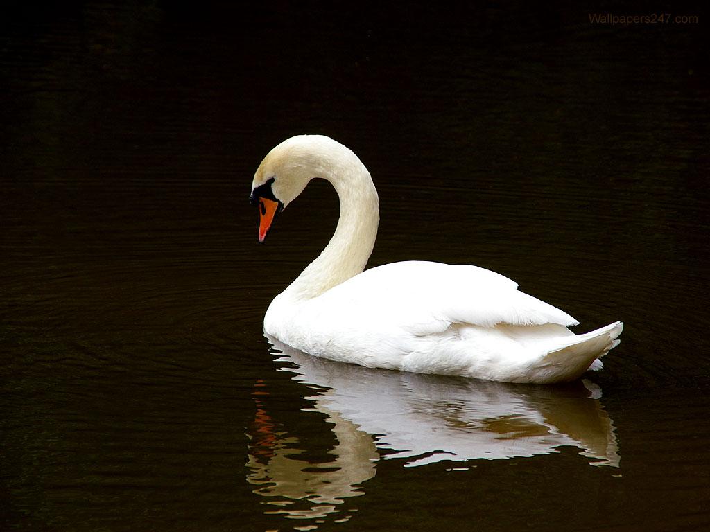 White Swan Wallpaper iPhone Wallpaper 1024x768