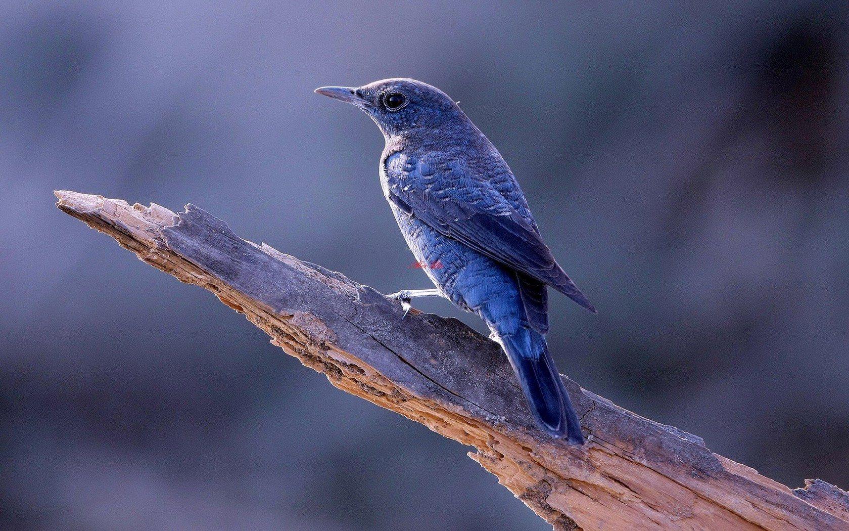 Blue Bird on Tree Widescreen HD Wallpaper 1680x1050