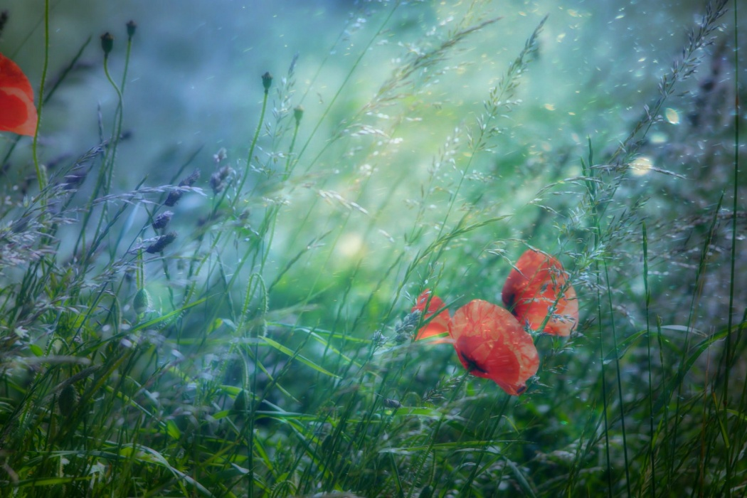HD Small Red Flowers in Green Grass Photography Wallpaper images 1080p 1050x700