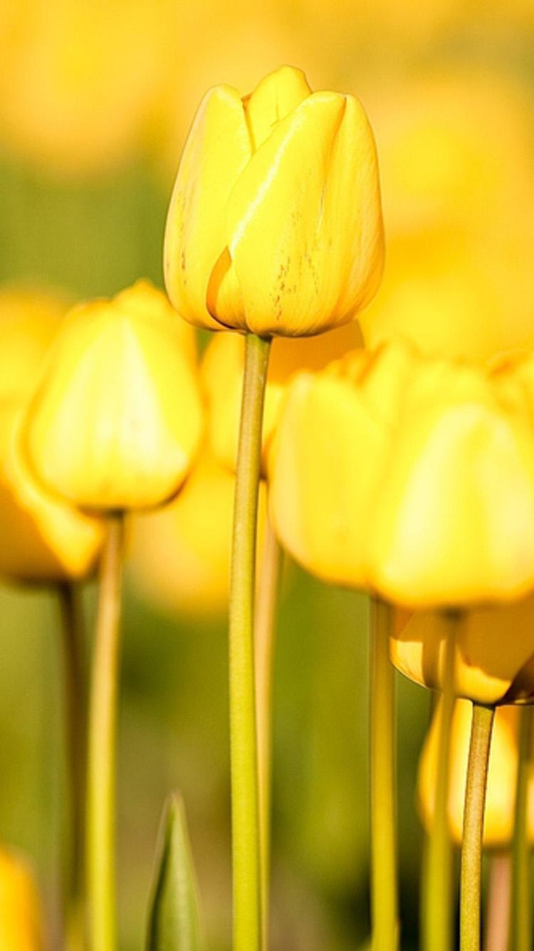 Free Download Elegant Yellow Flowers Iphone 6 Wallpaper Hd