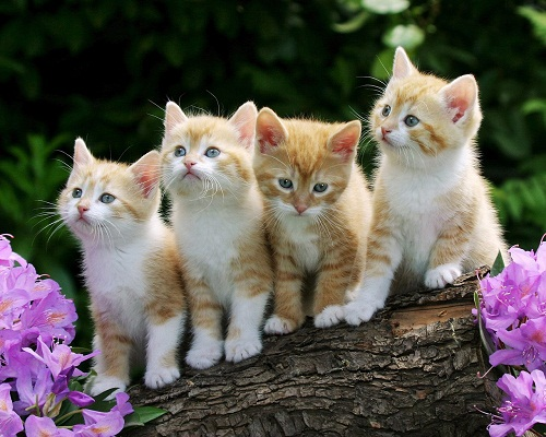 Cats and Kittens and Dogs and Puppies Images and Wallpapers 500x400