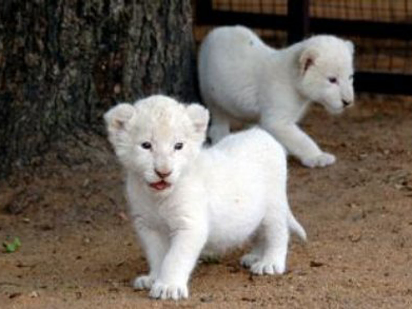 Baby White Lion Pictures 2013 Wallpaper 1600x1200