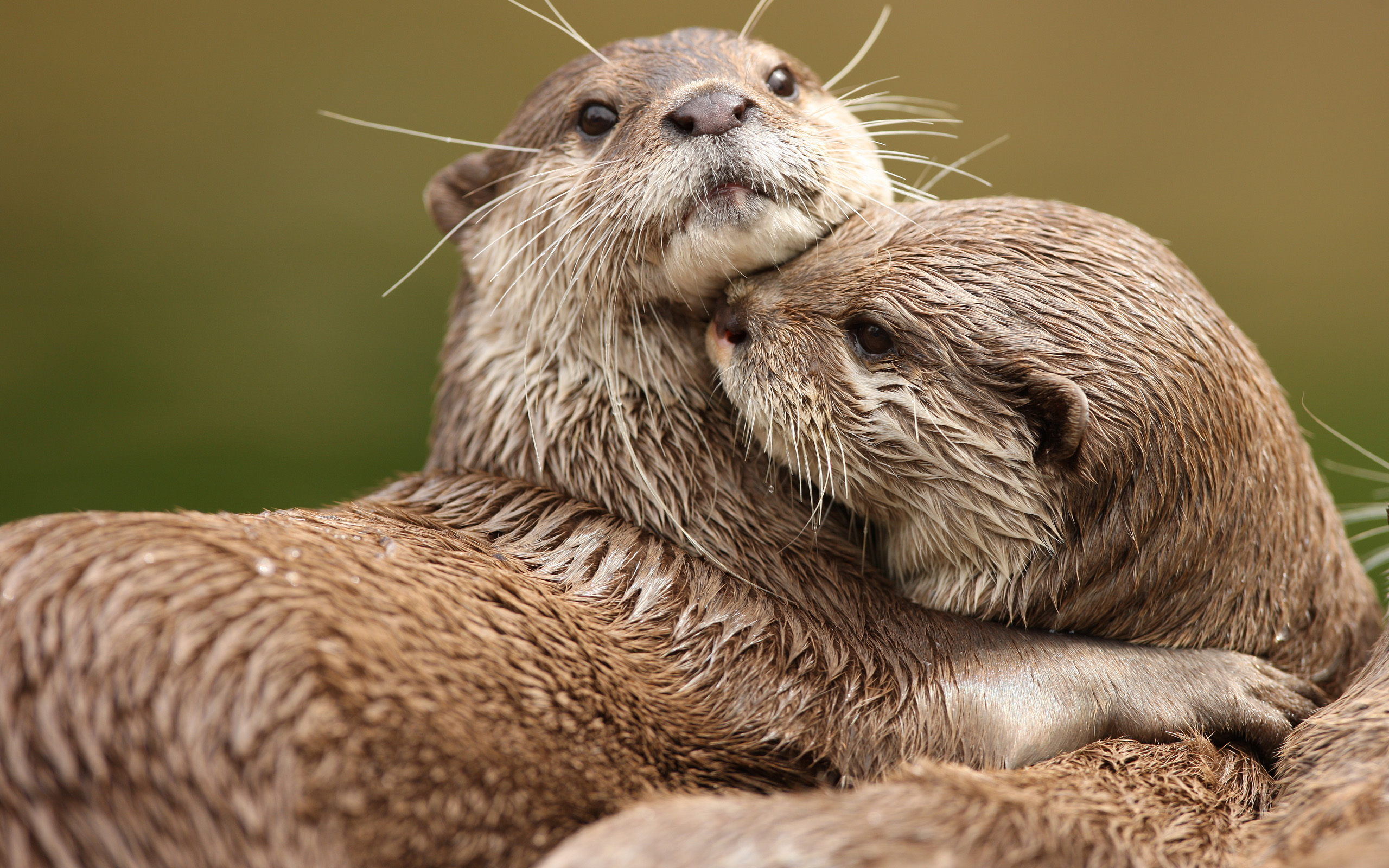 Baby River Otter wallpaper 2560x1600
