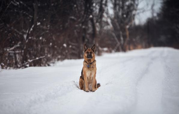 Wallpaper german shepherd road snow trees wallpapers dog   download 596x380