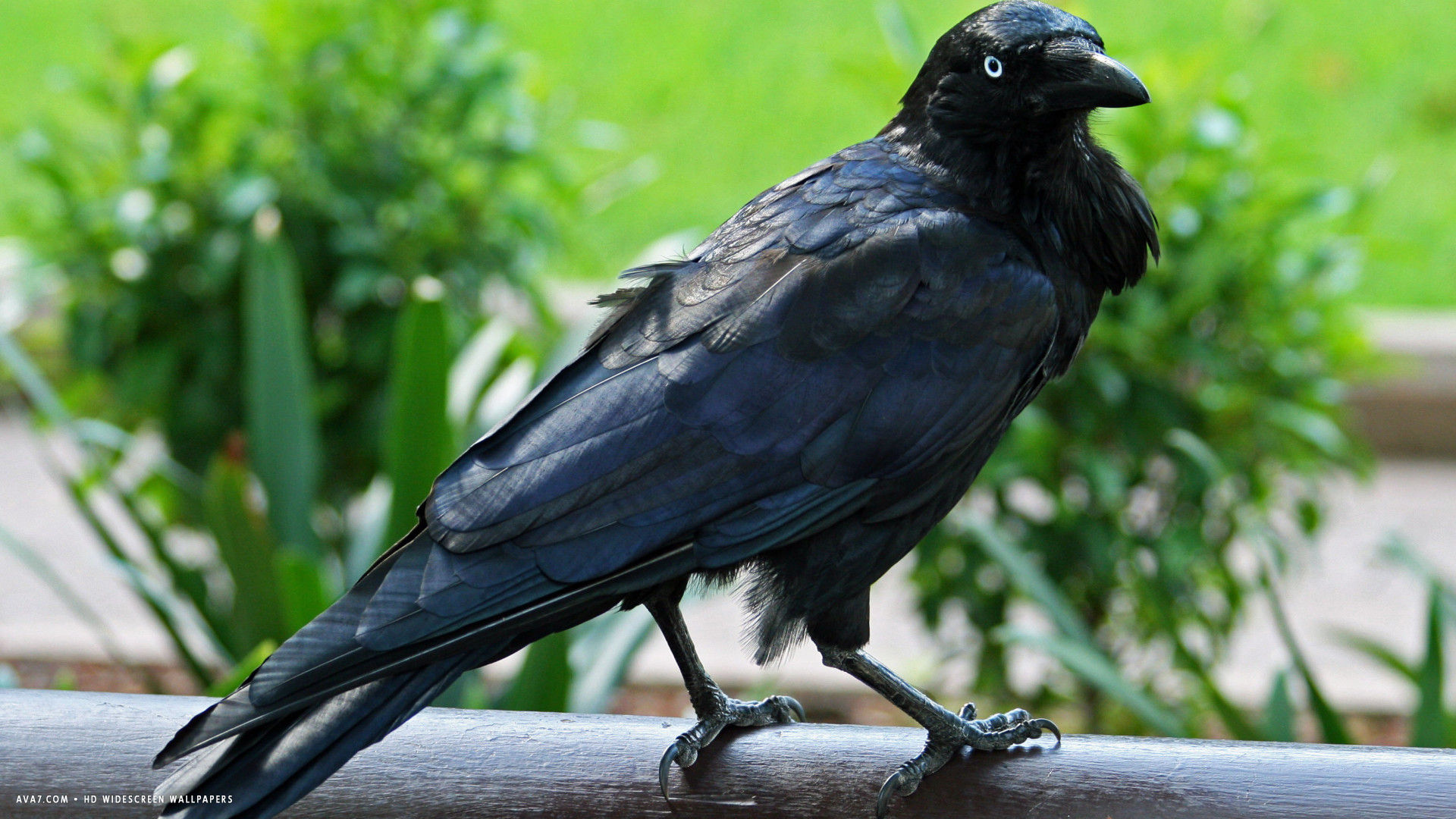 raven australian black bird hd widescreen wallpaper birds 1920x1080