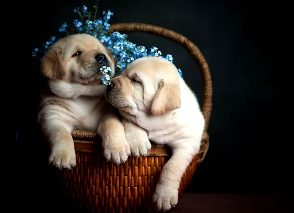 Free Download Cute Dogs In Basket Hd Wallpaper Dog 972x706 Download Hd 972x706 For Your Desktop Mobile Tablet Explore 36 Cute Dog Hd Wallpapers Cute Dog Wallpaper Cute Dog