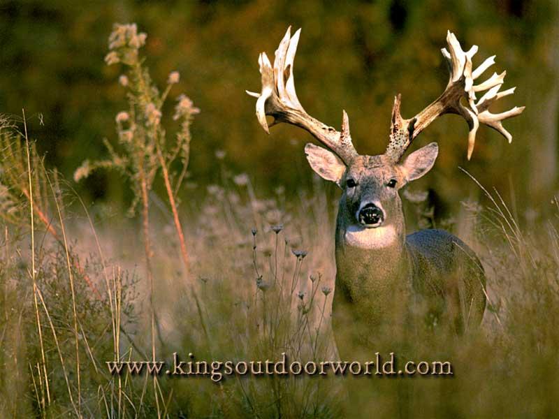 Wallpaper Deer 800x600