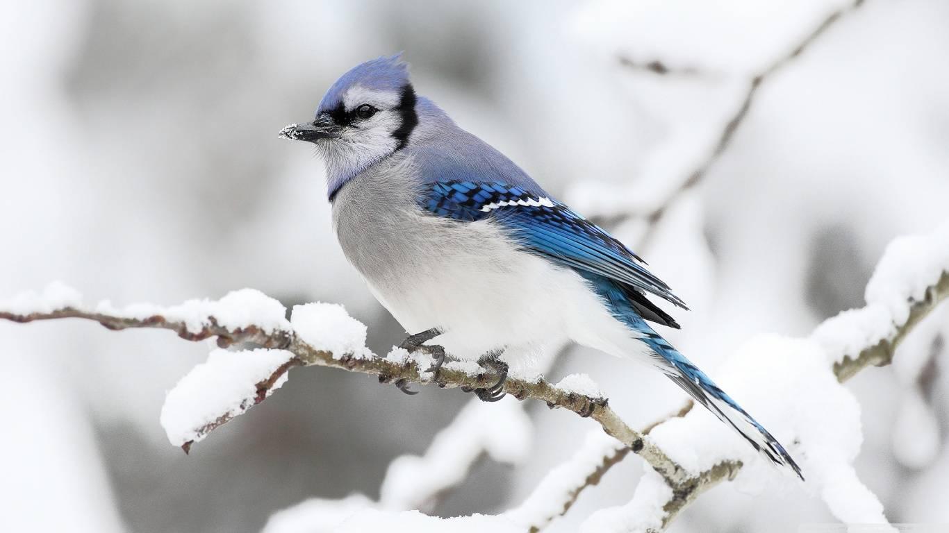 Beautiful Winter Bird   Beautiful Birds Picture 1366x768