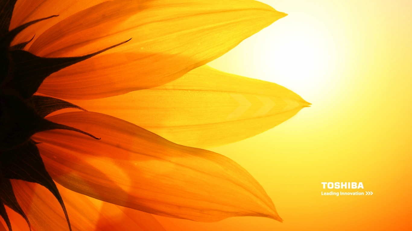 Toshiba Sunflower   Wallpapers 1366x768