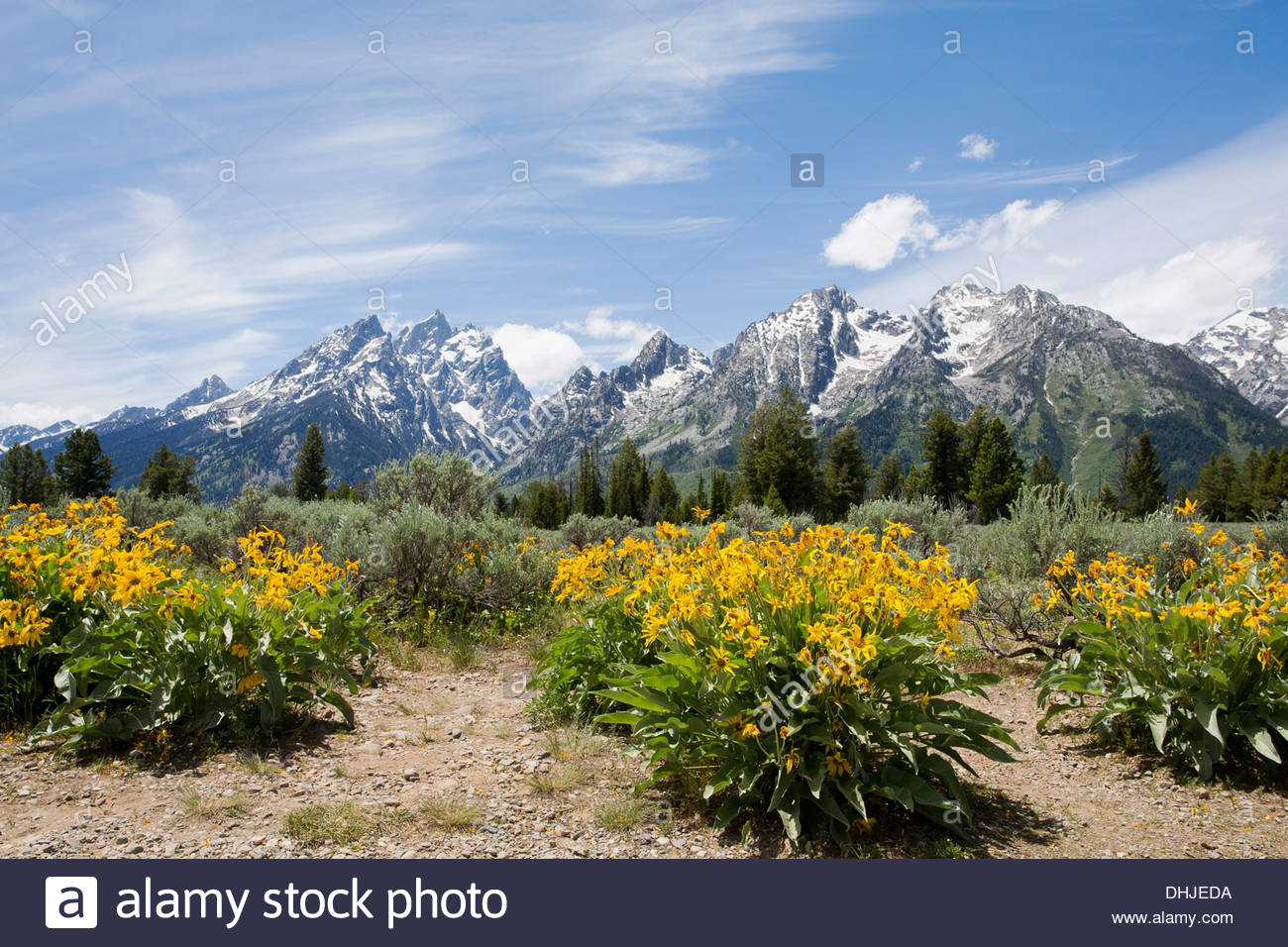 Flowers with the Grand Tetons in the background Stock Photo 1300x956