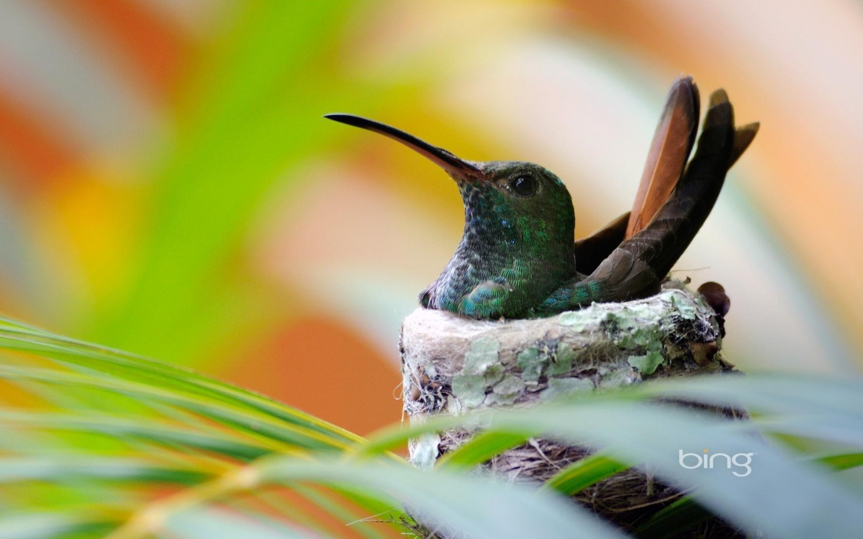 Bing birds hummingbirds leaves nature wallpaper 85567 1680x1050
