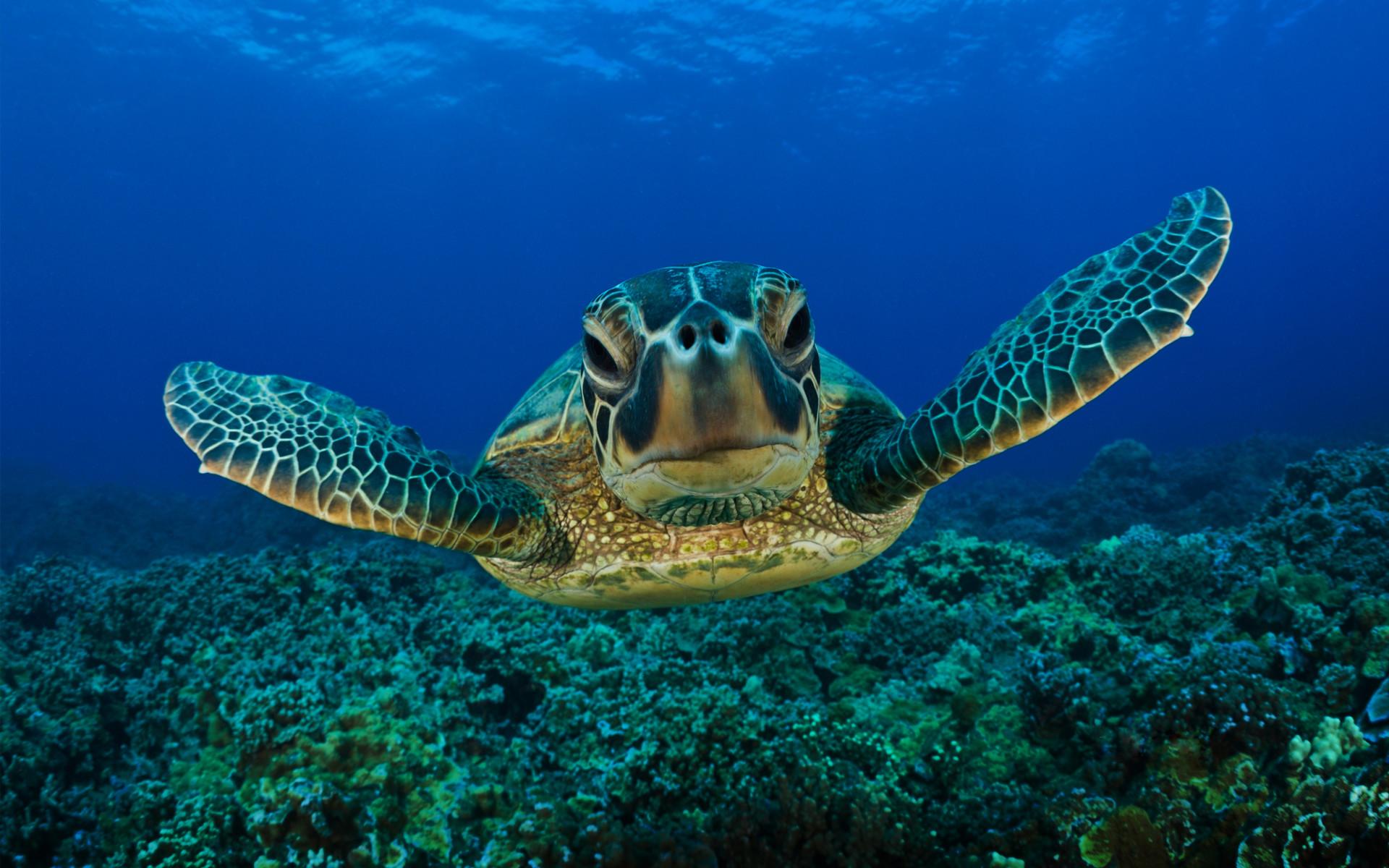 Hd wallpaper underwater - Underwater Turtle Hd Wallpaper 1920 1200 20819 Hd Wallpaper Res