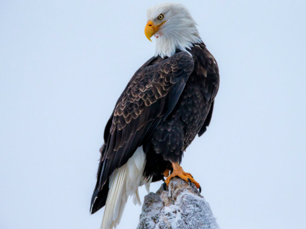 Bald Eagle HD Wallpapers American Eagle HD Pictures HD 1024x768