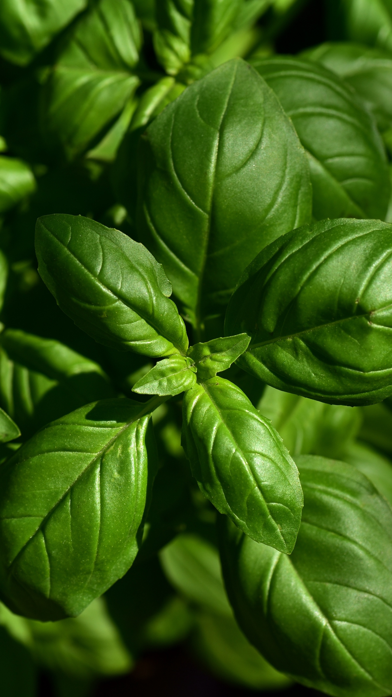 Download wallpaper 1350x2400 basil leaves green plant iphone 8 1350x2400