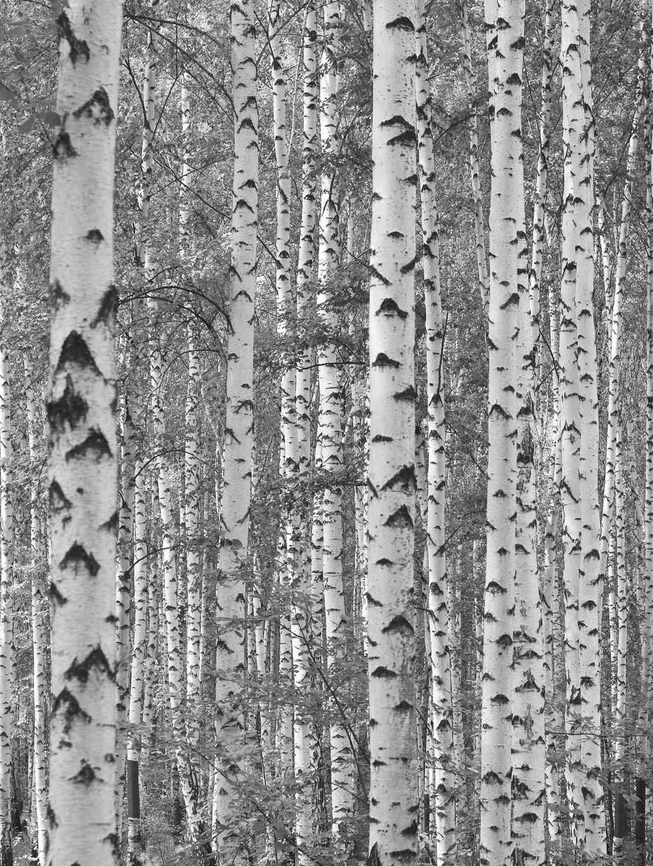 white birch wallpaper