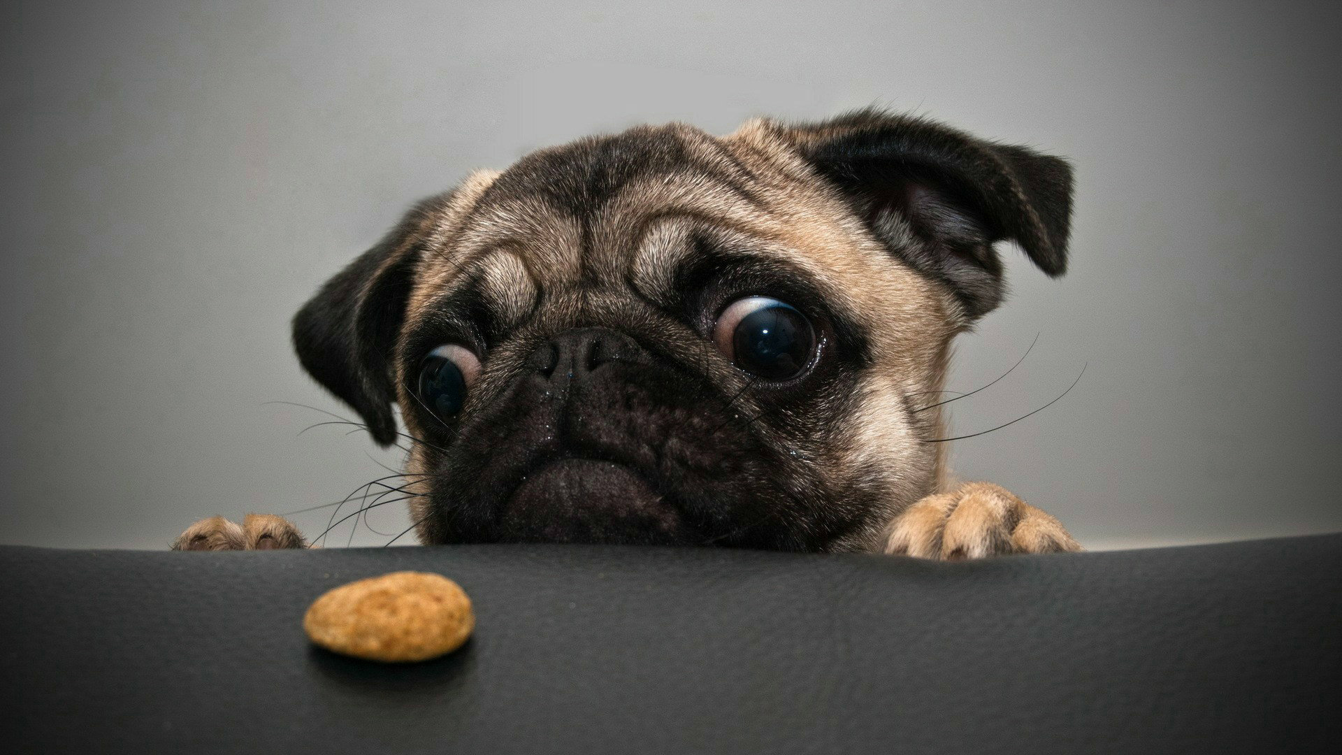 Crazy Pug Wallpapers HD Wallpapers 1920x1080