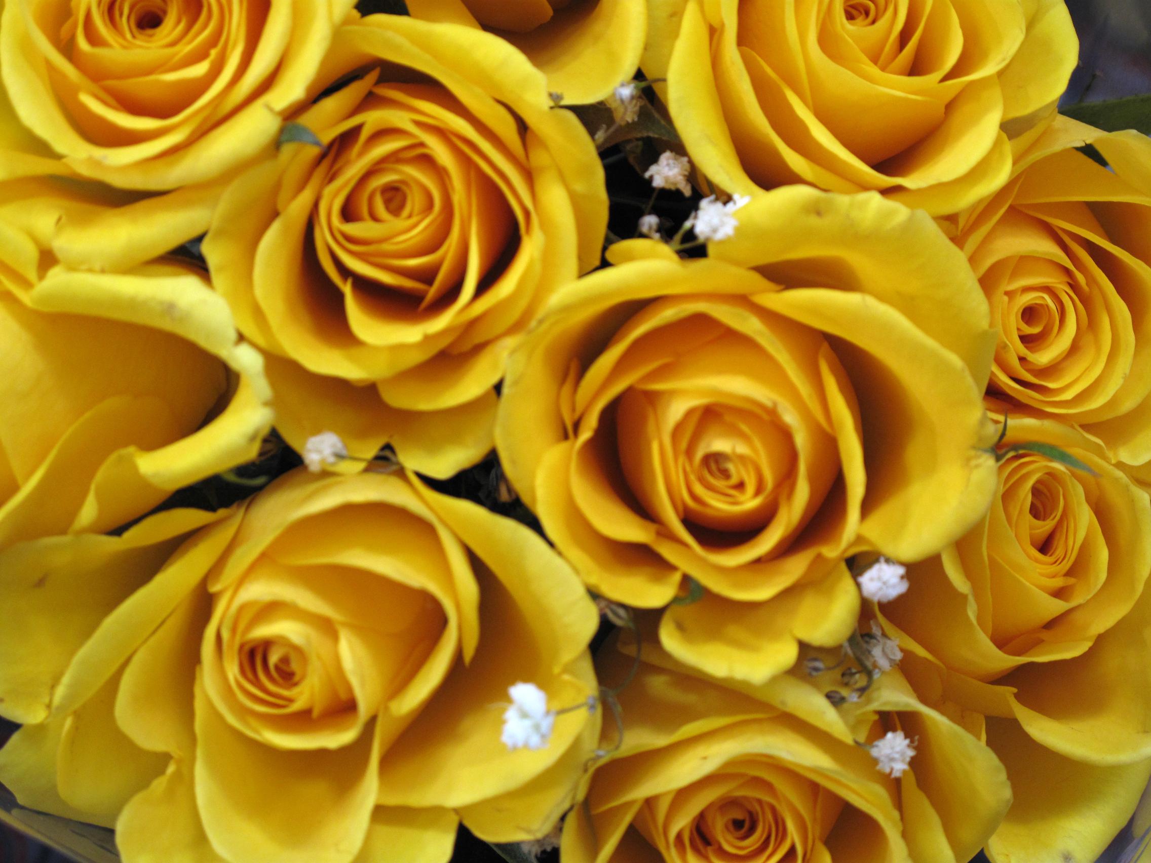 Free Yellow Rose Wallp...