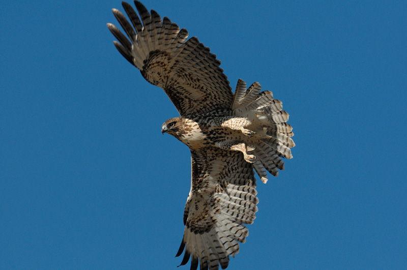 Hawk Wallpaper Wallpapersafari