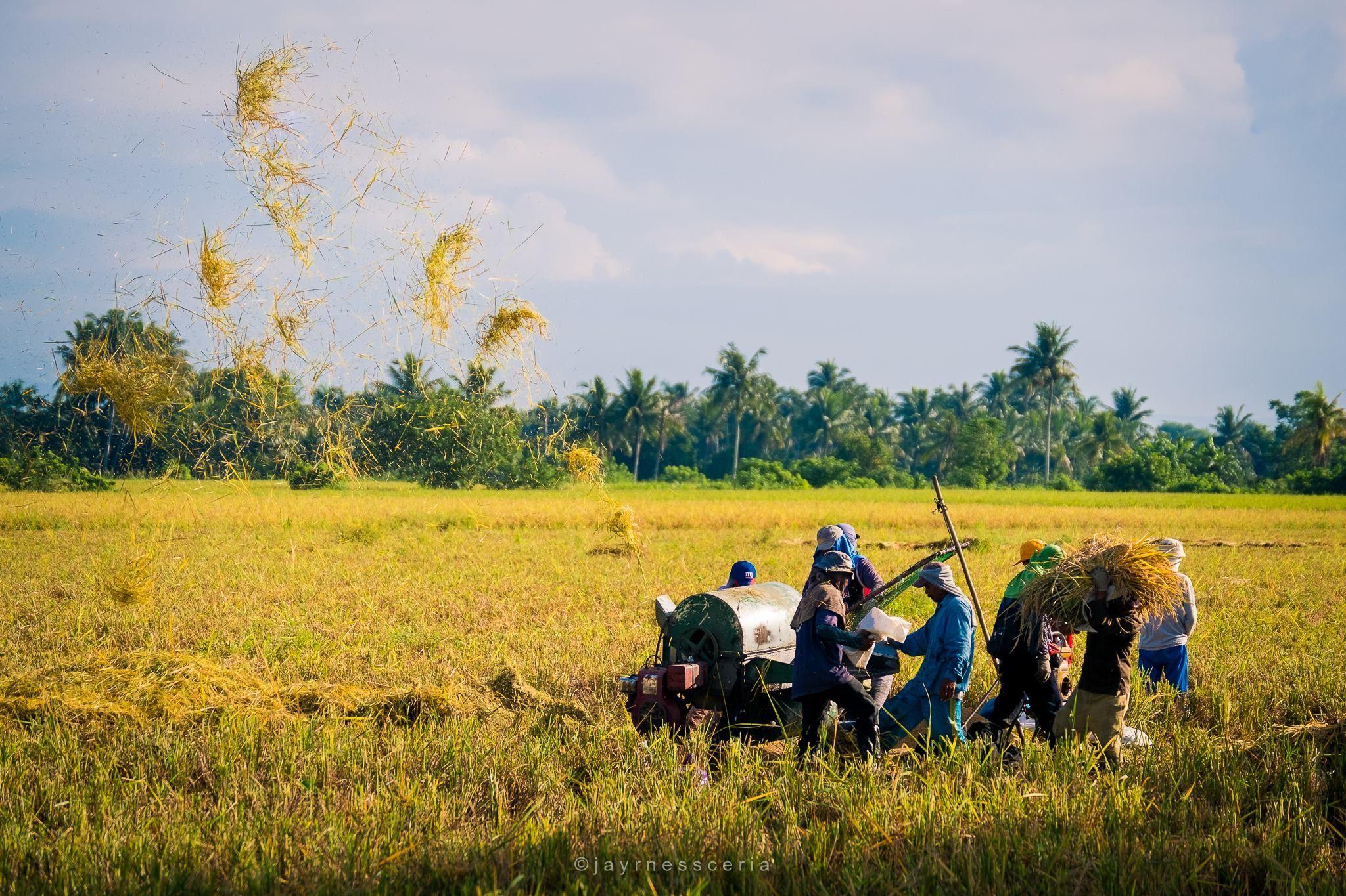 Philippines Filipino farm farmers ricefields farming rice 2048x1365