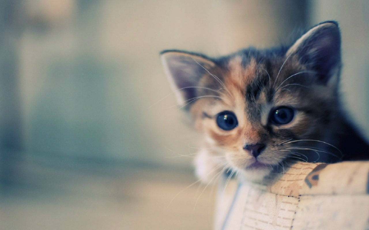 Free Download Most Beautiful Cats Wallpapers Hd Photos Images Download 1280x800 For Your Desktop Mobile Tablet Explore 76 Cat Wallpapers Cartoon Cat Wallpaper Black Cat Wallpaper Kitten Desktop Wallpaper