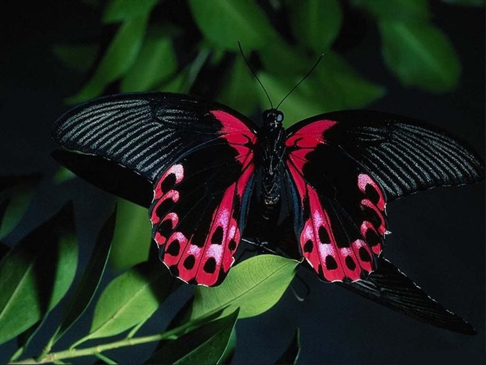 Keywords Butterfly Wallpapers Butterfly DesktopWallpapers Butterfly 1600x1200