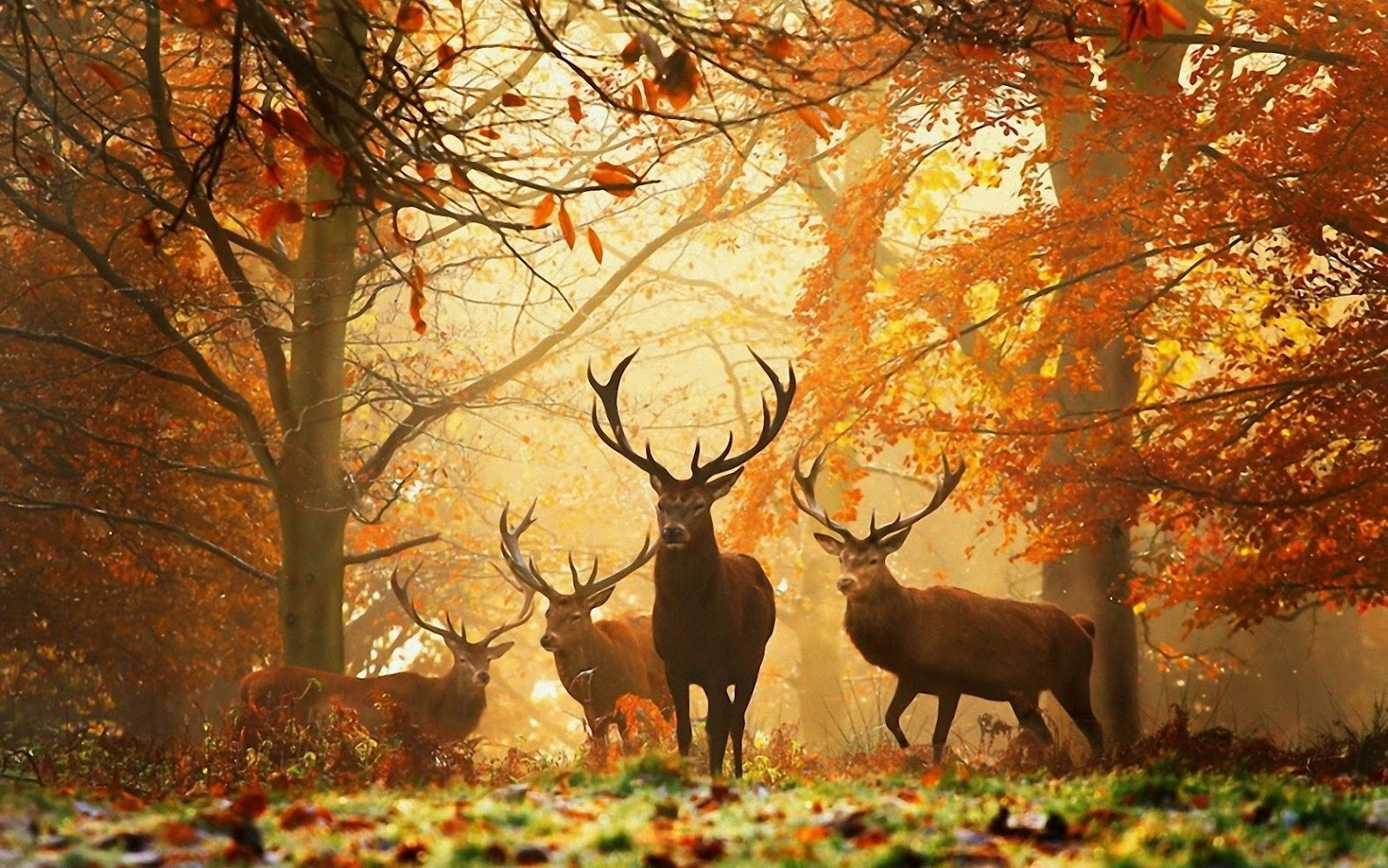 Deer Herd in Forest Autumn HD Nature Wallpaper HD Nature Wallpapers 1600x1000