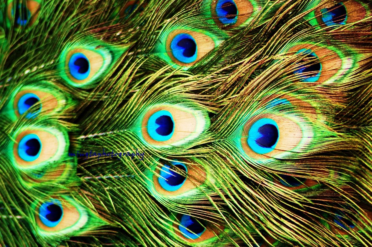 HD Peacock Feather Wallpaper 1500x997