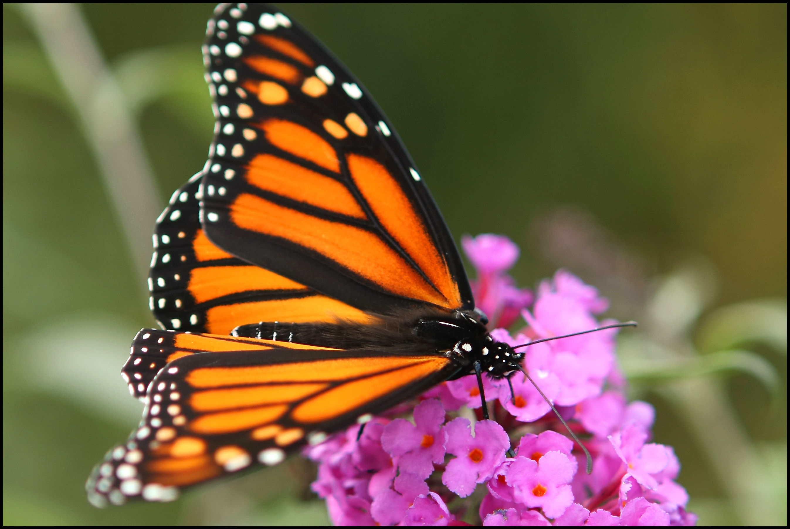 Monarch Butterfly Wallpaper Latest Images ubxx7ic6 Yoanu 2694x1803